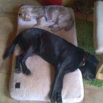 Zur Tagesbetreuung gehören auch Ruhezeiten. Hier liegen Neela und Nelly gemeinsam auf einem Hundekissen