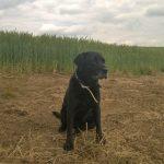 Tageshund Nella, kleiner Dreckspatz vor dem Maisfeld